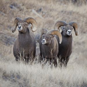 3 Big Horn Ram