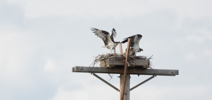Osprey Nest Intrusion