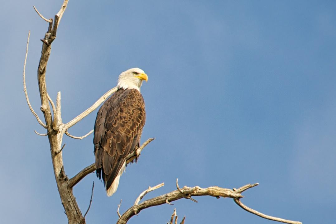 Beautiful bald eagle sighting