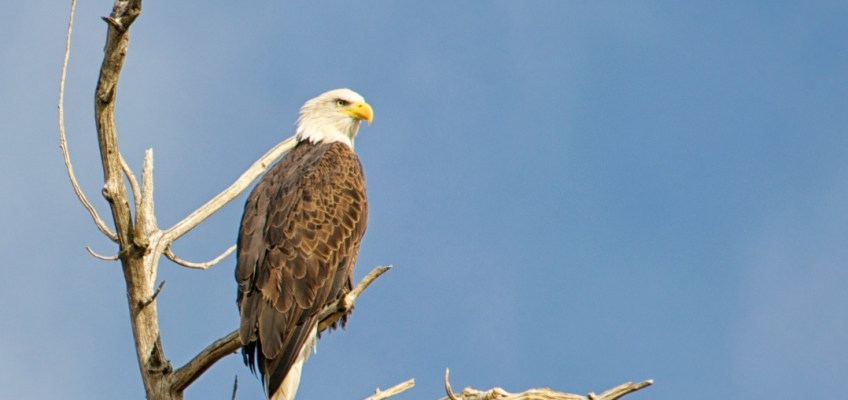 Beautiful bald eagle sighting