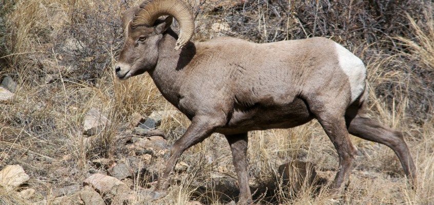 Bighorn Sheep During Rut