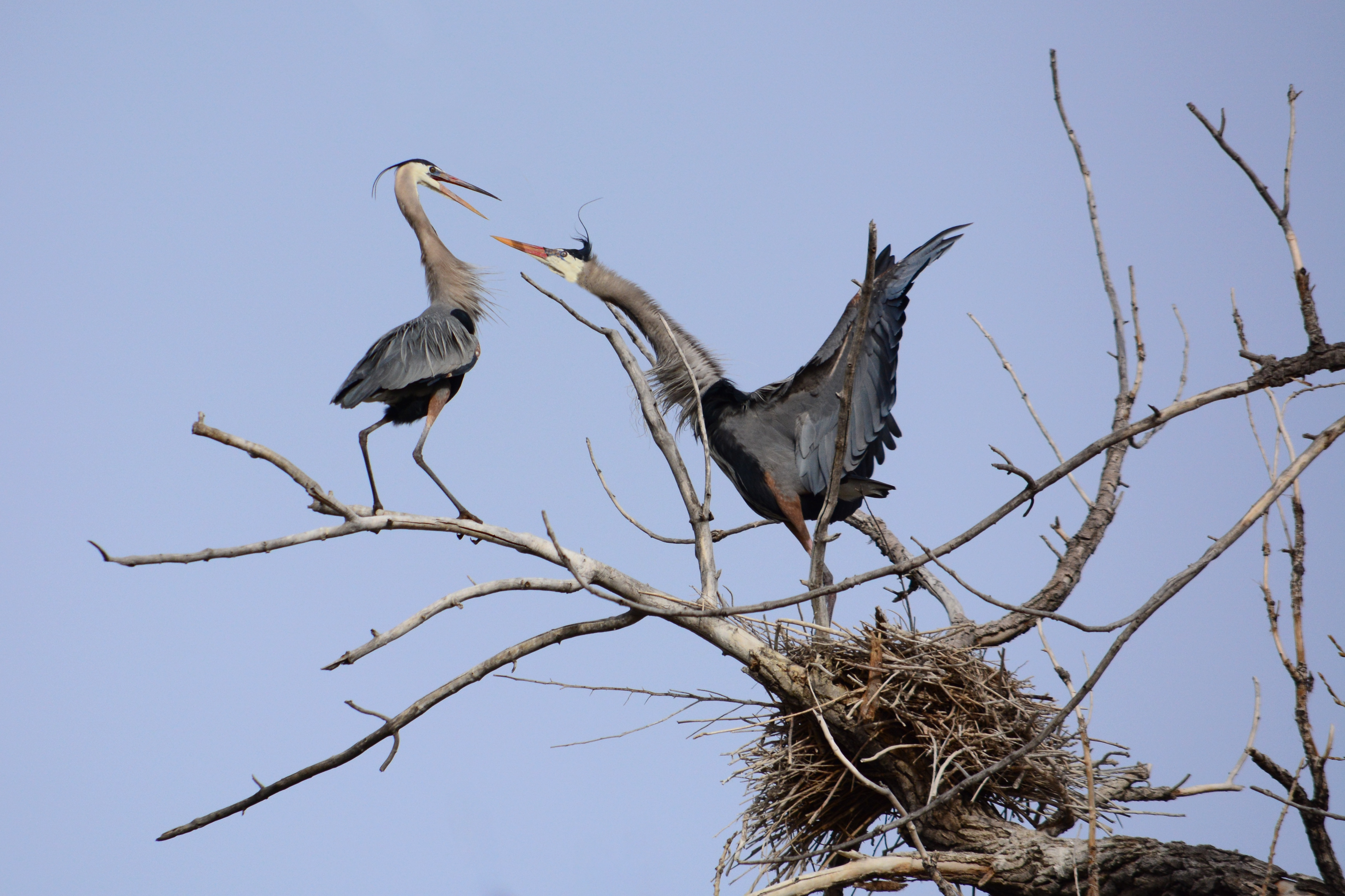 Observing Great Blue Herons at the Rookery