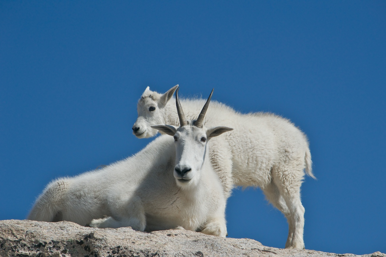 Mountain goats and kids on Mt. Evans