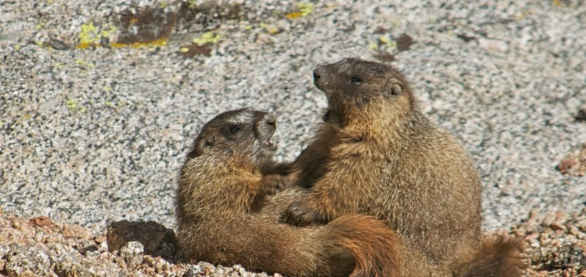 Marmots on Mt. Evans
