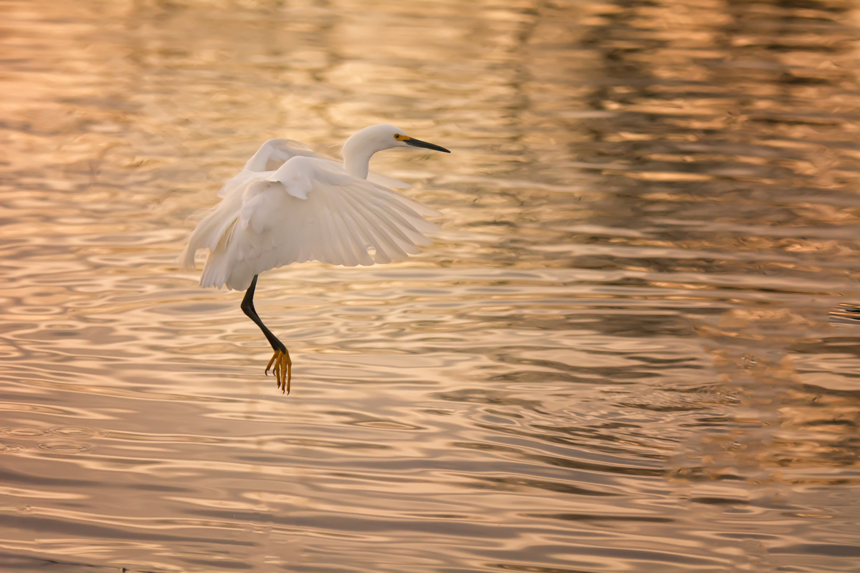 The beauty of the Snowy Egret