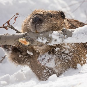 Winter Beaver