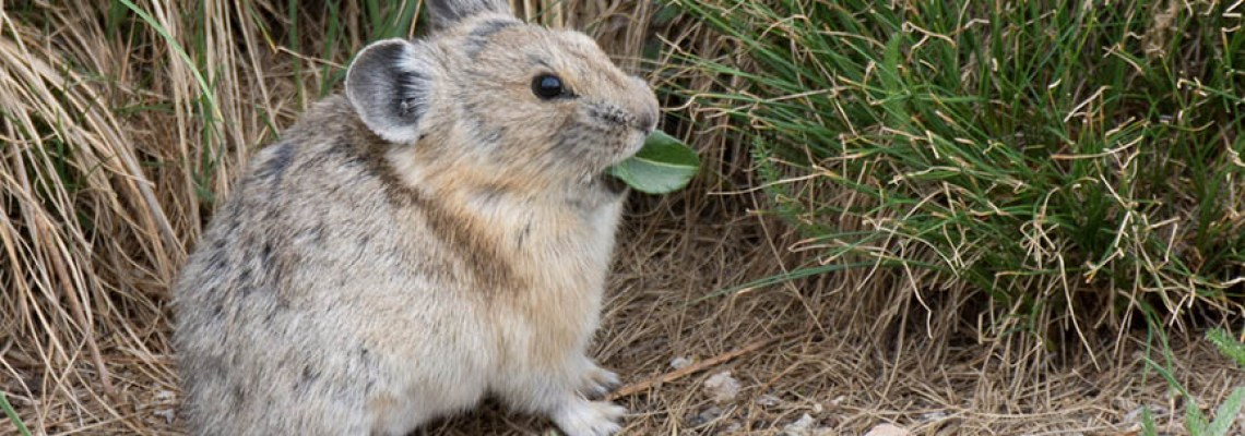 The cutest animal to photograph – Pika