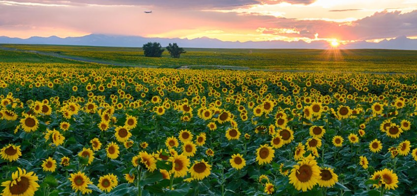 Sunflower Fields at Sunset outside Denver