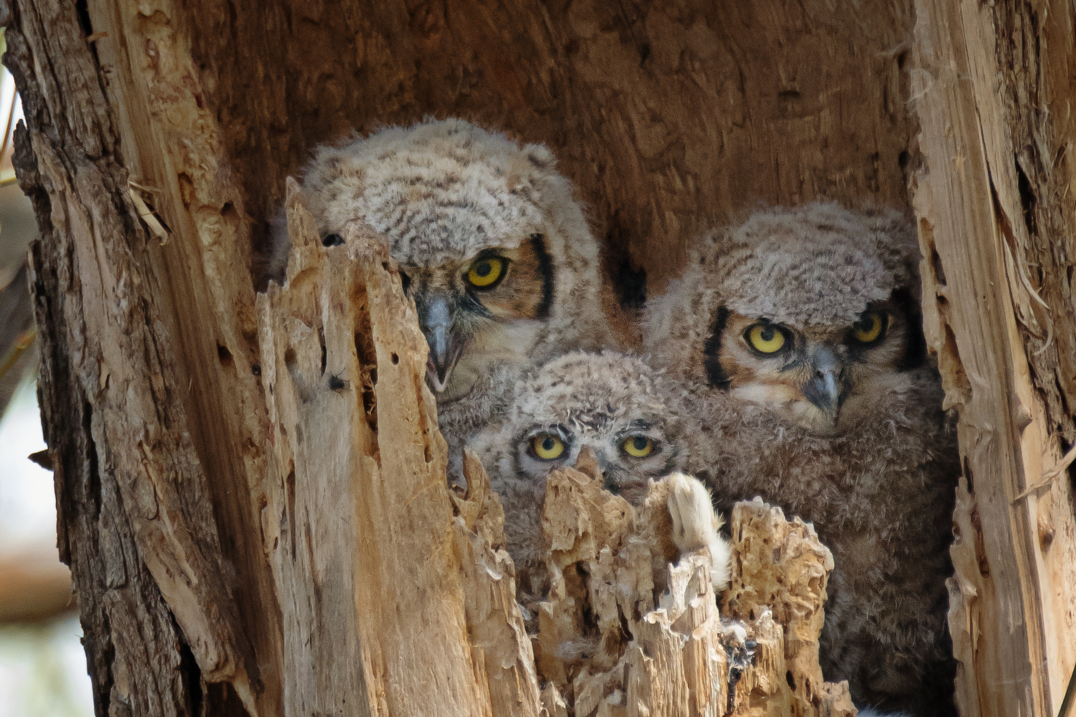 Great Horned Owl Nest