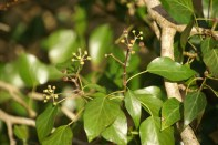 Fruiting Ivy