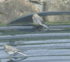 Pied Wagtail fledgelings