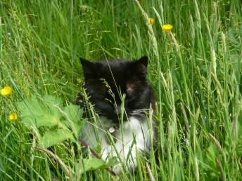 Farm cat -- hunting
