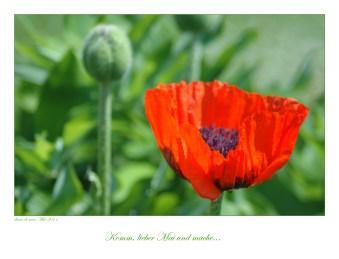 13_Mohnblüte