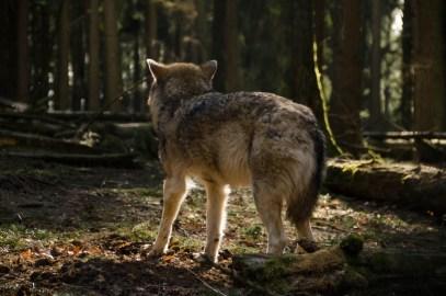 Wolfsrudel-13