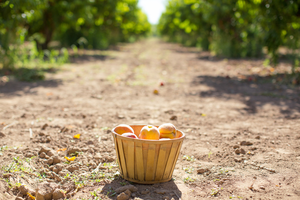 schnepf-farms-peach-orchard-fruit-shoot-picking-diana-elizabeth-photography-021