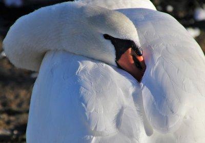 swan, silence