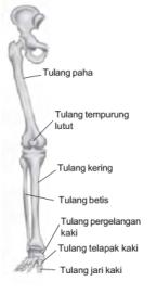 Fungsi Tulang Tempurung Lutut : fungsi, tulang, tempurung, lutut, Rangka, Manusia, Pemeliharaanya, Materi, Kelas, Sekolah, Dasar