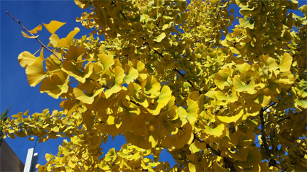 photograph of golden ginko leaves on tree branches