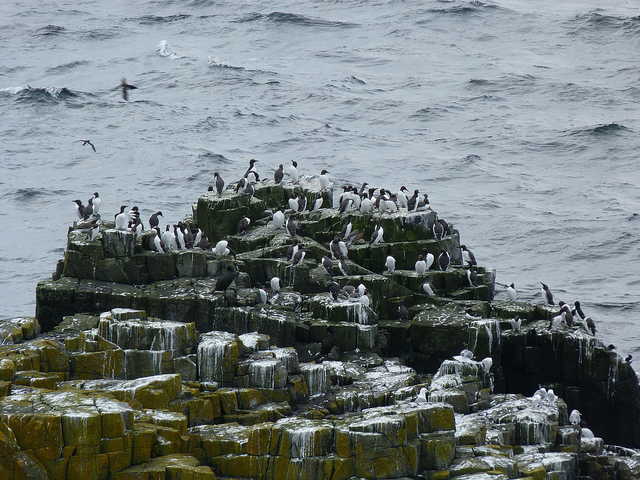 photograph of rock with many auks perched on it