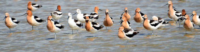 photograph of a group of avocets