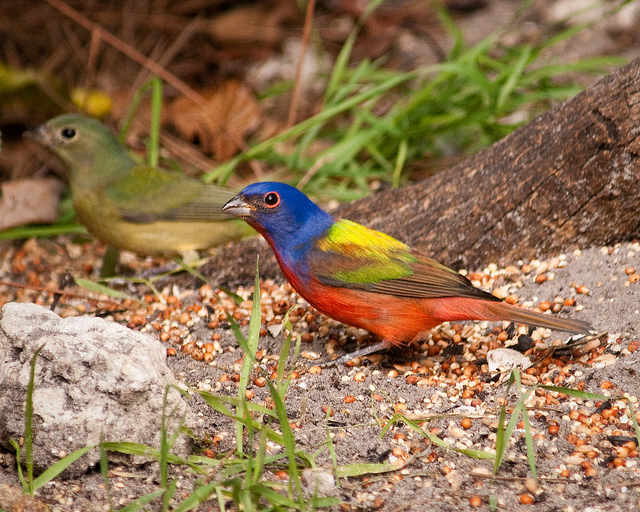 photograph of two painted buntings