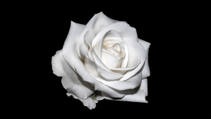 photograph of a white rose in bloom against a black background