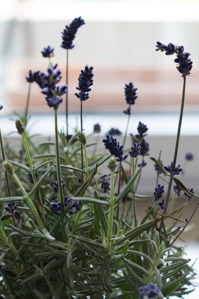 frische Lavendelpflanze