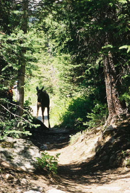 Baby Moose on the Trail