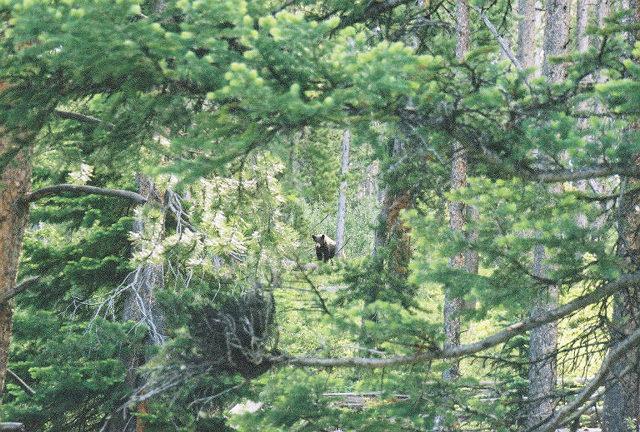 Black Bear in Woods