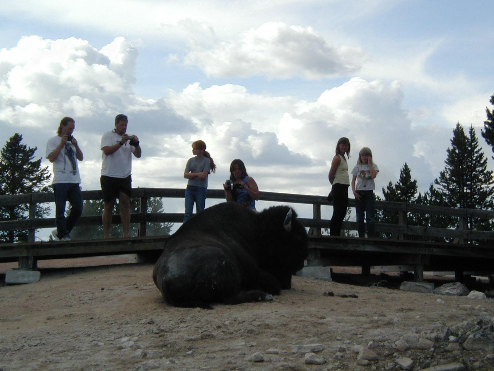 Bison by the Boardwalk
