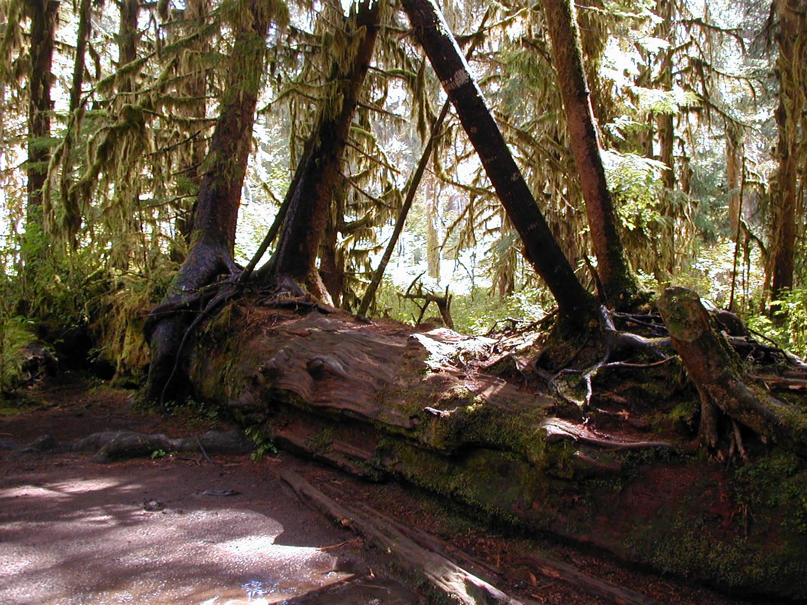 Trees Grow on a Nurse Log