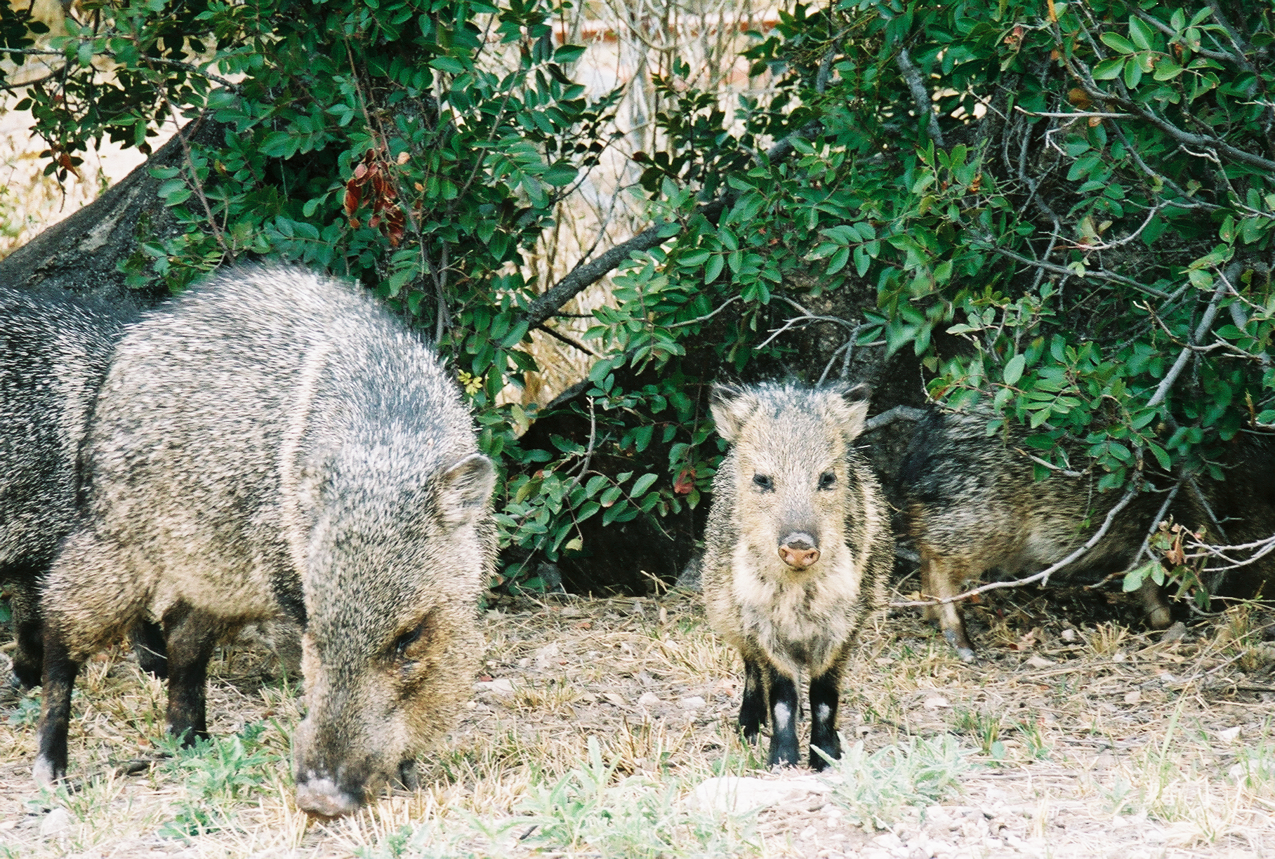 Javelinas in the park