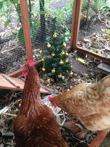 Chicken party with parrot treats and tree.