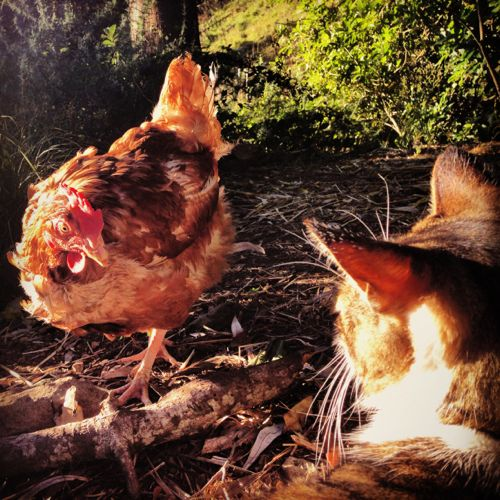 Sonja the chicken and Max the cat are staring at each other.