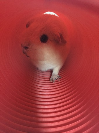 One of JJ's guinea pigs.