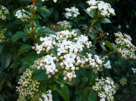 whitebush.jpg