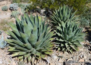 Agave plant which is used to make tequila