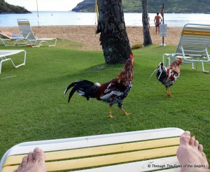 These roosters where everywhere