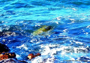 This green sea turtle was with others; feeding near the shore