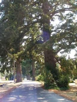 Heritage Trees on Humpback Road Langford, BC