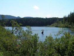 Fairy Lake Bonsai Fir Tree