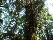 Harris Creek Giant Spruce - Mid Section approximately 23km NE of Port Renfrew (about 5km past Lizard Lake)