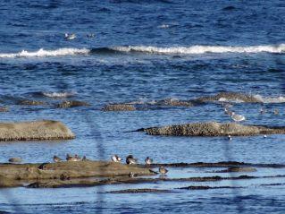 seagulls_on_seaside_rocks