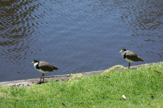 Masked Lapwing or Plover