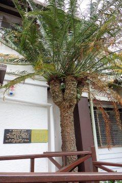 Macrozamia Tree