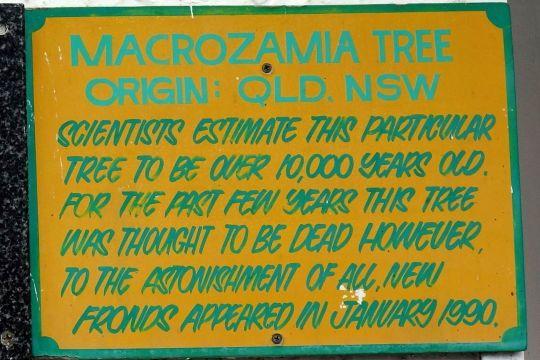 St Bernard's Hotel and Macrozamia Tree