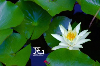 Lonely Water Lily