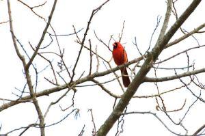 cardinal20130222_162bzzb