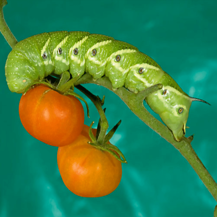 The dreaded tomato hornworm can wreak havoc but they aren't as devastating as other pests can be. Click through NOW to learn how to deal with them in your garden...