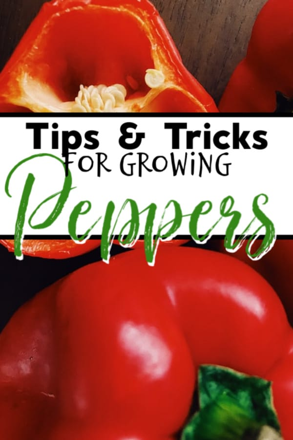 Tips & Tricks For Growing Peppers